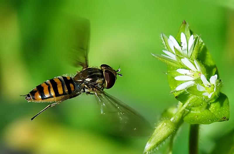 -flying hoverfly1-