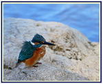 "Title: ""fluffy kingfisher"" Camera: Canon 30 D"