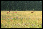 Title: deers on a meadow