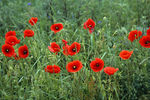 Title: Poppies