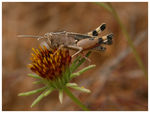 Title: Grasshopper Acrididae