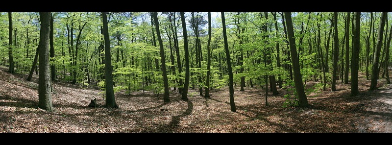 Beech forest on cliff