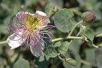 Title: Capparis spinosa