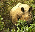 Title: One Horned Rhino
