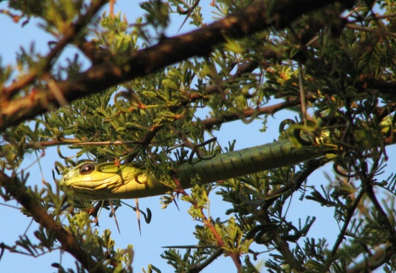 Boomslang in the wild