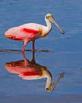 Title: Reflecting Spoonbill
