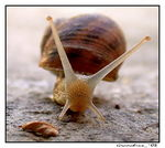Title: Snail Camera: Nikon coolpix 995