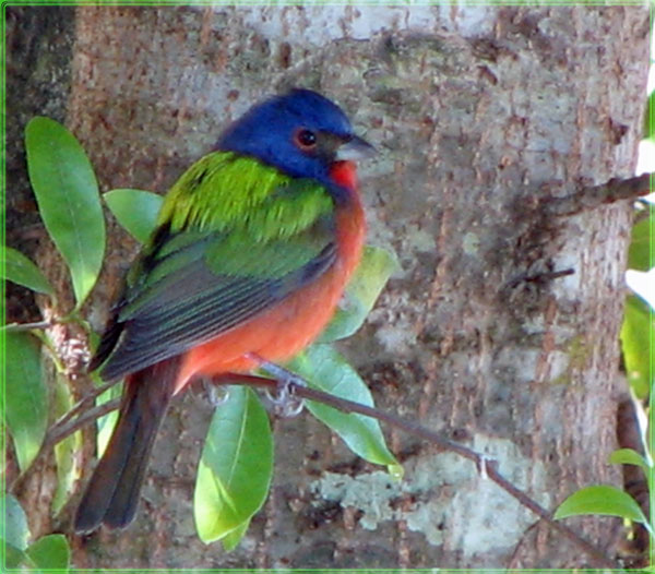 ~Painted Bunting~