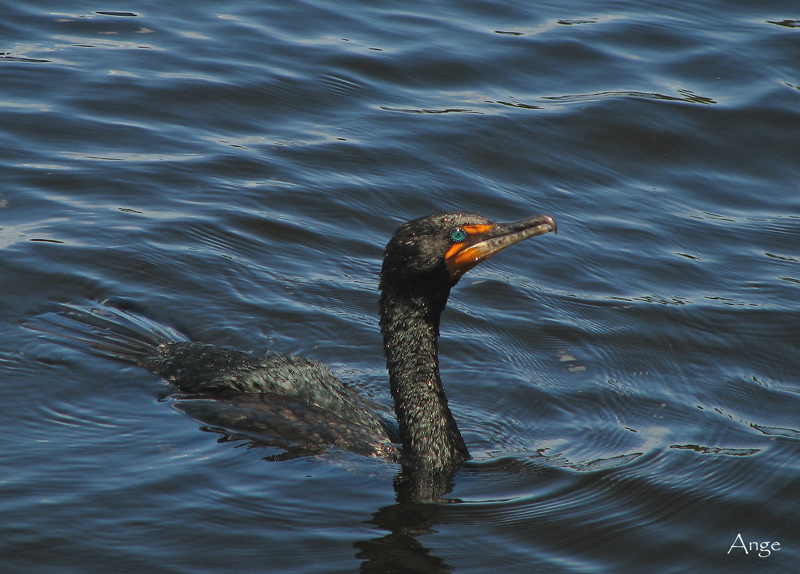 ~Fishing Great Cormorant~