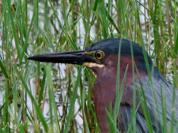 ~Green Heron Head Study~