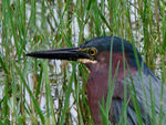 Title: ~Green Heron Head Study~Canon Powershot S2-IS 12X Zoom