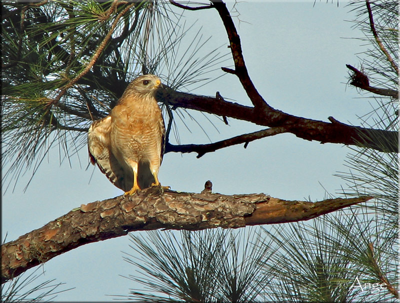 ~Red Tailed Hawk~