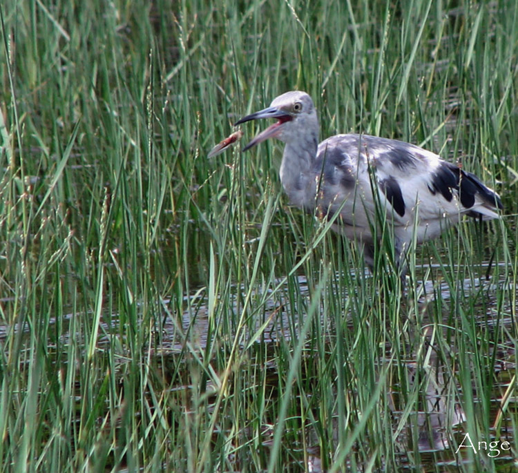 ~Juvenile Little Blue Heron Eating~