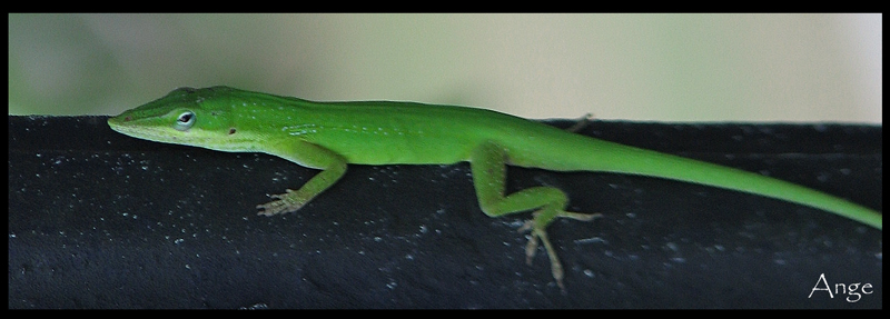 ~Green Anole~