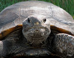 Title: ~Florida Gopher Tortoise~