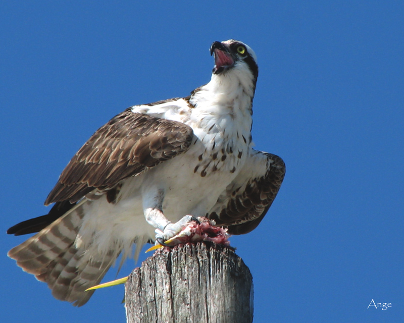 ~Osprey with Breakfast~
