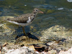 Title: ~Spotted Sandpiper~