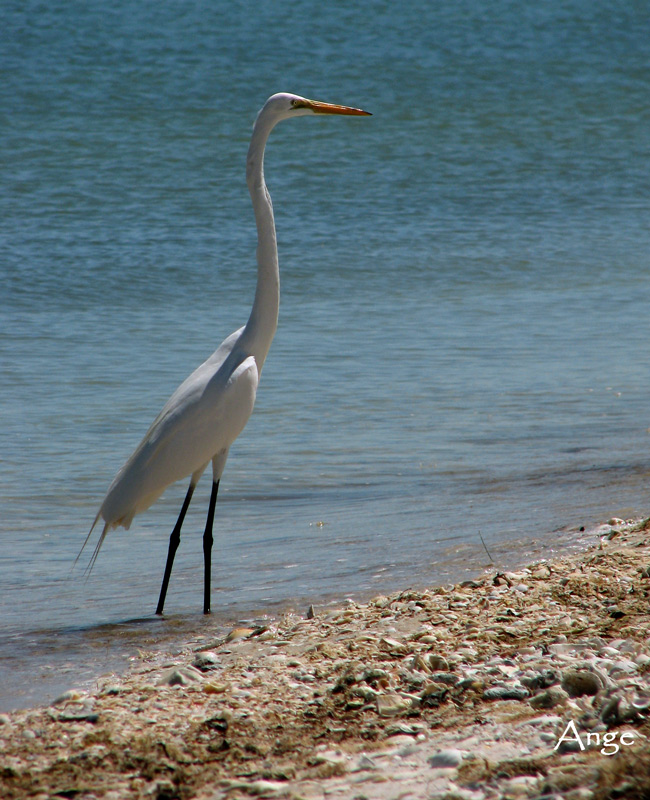 ~Great Egret on Sanibel Island~