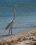 Title: ~Great Egret on Sanibel Island~