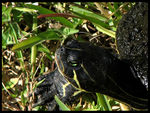 Title: ~Yellow Bellied Slider~