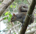 Title: ~Eastern Gray Squirrel~