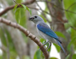 Title: Blue-grey Tanager