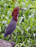 Title: Rufescent Tiger-heron