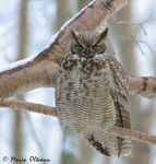 Title: Great Horned Owl 2