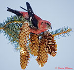Title: White-winged Crossbill 3