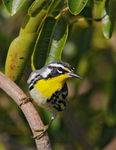 Title: Yellow-throated Warbler
