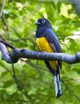 Title: White Tailed Trogon