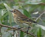 Title: Yellow-rumped Warbler