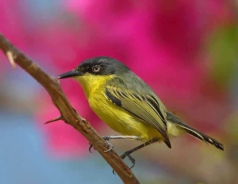 Black-fronted Tody-Flycatcher