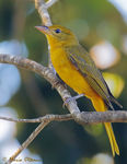 Title: Summer Tanager - female