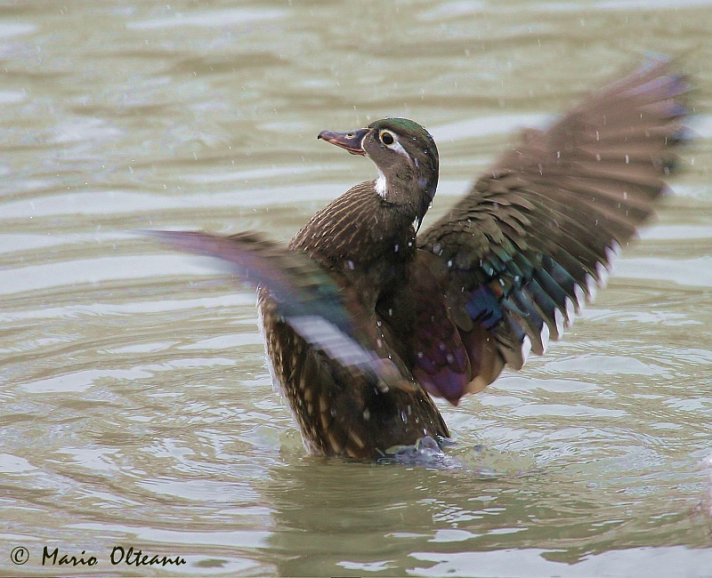 Female Wood Duck and snow