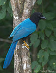 Title: Yucatan jay - adult