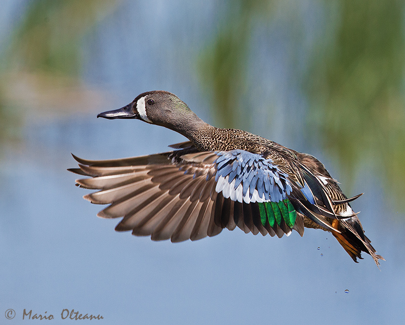 Blue-winged teal duck - 2