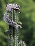 Title: Variegated Squirrel
