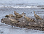 Title: Whimbrel flock