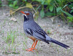Title: Red-legged Thrush