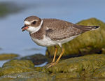 Title: Semipalmated Plover