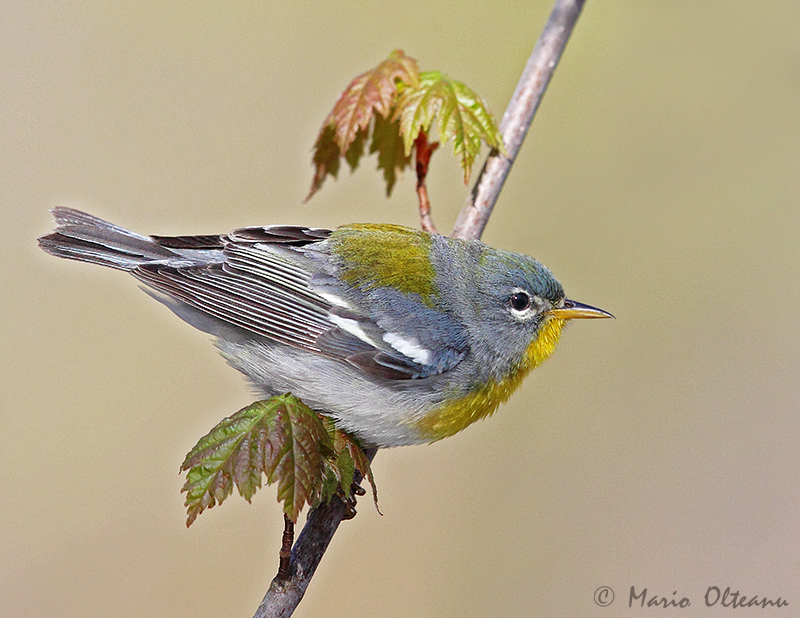 Northern Parula - female