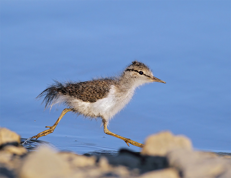 Baby - Spotted Sandpiper