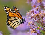 Title: Monarch butterfly - flying