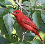 Title: Summer Tanager