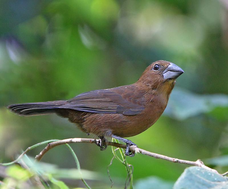 Blue-black Grosbeak - juvenille