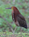 Title: Rufescent tiger heron
