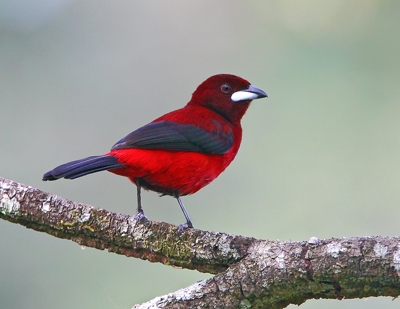 Crimson-backed Tanager - male