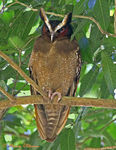 Title: Crested Owl