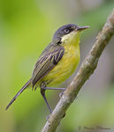Title: Common Tody-Flycatcher Camera: Canon EOS 1D Mark IV